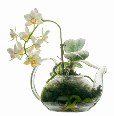 The original placement of the orchid in a transparent glass teapot. Blooming white phaleaenopsis orchid isolated on white background.