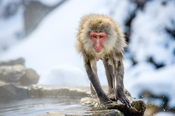 Wet Japanese macaque on the stone at natural hot springs in Winter season.  The Japanese macaque ( Scientific name: Macaca fuscata), also known as the snow monkey.