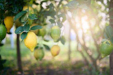 Ripe Lemons or Growing Lemon, Bunch of fresh lemon on a lemon tree branch in sunny garden.