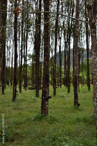 Rubber plantation with rubber trees in Thailand, Asia