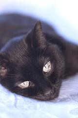 Senior black cat lying on the bed