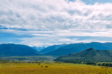 Mountain valley with horses, golden autumn panorama landscape, view of the Beluha in sunny weather, Altai Republic, Russia
