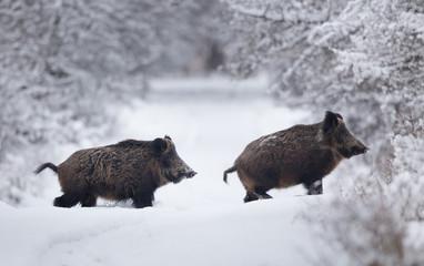 Wild boars walking on snow