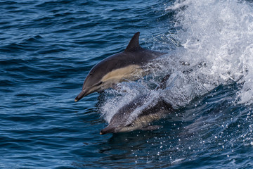 Pair of energetic dolphins playfully swimming and jumping at top speed in the Santa Barbara Channel.