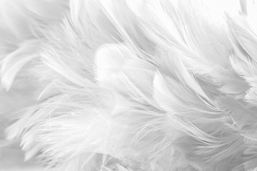 Abstract background Bird and chickens feather texture ,blur style and soft color of art design