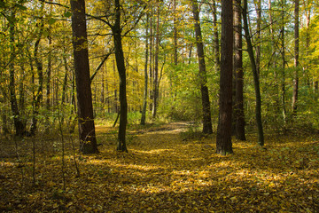 Autumnal forest and fallen yellow leaves