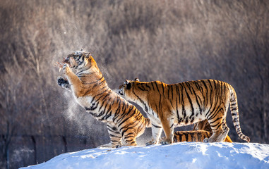 Fotobehang Two Siberian(Amur) tigers stand on a snow-covered hill and catch prey. China. Harbin. Mudanjiang province. Hengdaohezi park. Siberian Tiger Park. Winter. Hard frost. (Panthera tgris altaica)