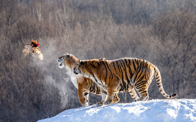 Two Siberian(Amur)  tigers stand on a snow-covered hill and catch prey. China. Harbin. Mudanjiang province. Hengdaohezi park. Siberian Tiger Park. Winter. Hard frost. (Panthera tgris altaica)