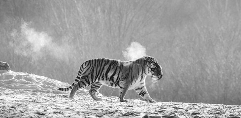 Siberian (Amur) tiger walks in a snowy glade in a cloud of steam in a hard frost. Very unusual image. China. Harbin. Mudanjiang province. Hengdaohezi park. Siberian Tiger Park. Winter. (Panthera tgris