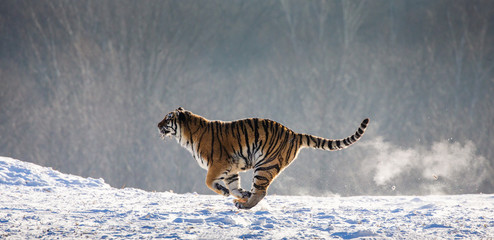 Siberian (Amur) Tiger running in the snow. Very dynamic photo. China. Harbin. Mudanjiang province. Hengdaohezi park. Siberian Tiger Park. Winter. Hard frost. (Panthera tgris altai