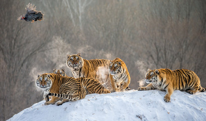 Fotobehang Tijger Several siberian tigers are standing on a snow-covered hill and catch prey. China. Harbin. Mudanjiang province. Hengdaohezi park. Siberian Tiger Park. Winter. Hard frost. (Panthera tgris altaica)