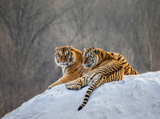 Pair of Siberian tigers on a snowy hill against the backdrop of a winter forest. China. Harbin. Mudanjiang province. Hengdaohezi park. Siberian Tiger Park. Winter. Hard frost. (Panthera tgris altaica)