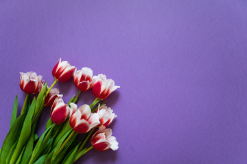 A bouquet of fresh tulips lying on a vivid purple background. Mother Day and International Women Day