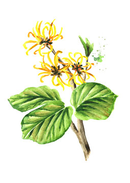 Blossoming branch of a witch hazel with leaves and flowers  medicinal plant Hamamelis. Watercolor hand drawn illustration, isolated on white background