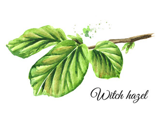 Green branch of a witch hazel with leaves, medicinal plant Hamamelis. Watercolor hand drawn illustration, isolated on white background