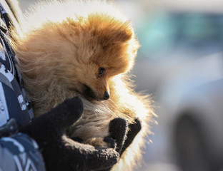 An owner holds a puppy during a dog sled and skijoring race outside Almaty