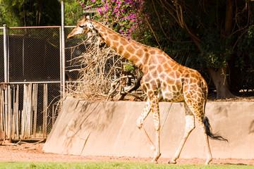 Close-up of a giraffe walking in the zoo.