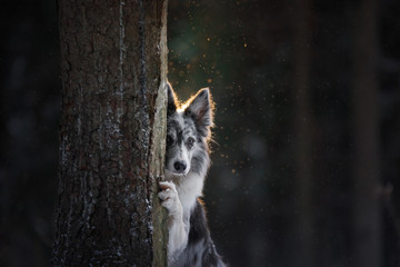 the dog is hiding behind a tree. Border Collie in the woods in winter. Walk with your pet, travel