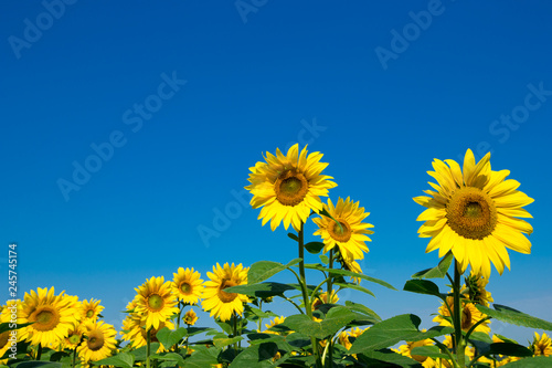 Wall mural Sunflower field with cloudy blue sky