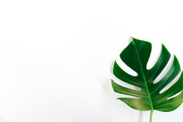 Monstera green leaf isolated on white background.
