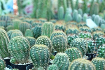 Beautiful cactus for sell