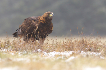 Golden eagel standing on the meadow, a view from near