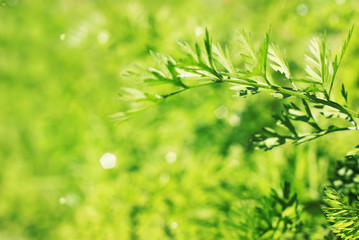 Fresh spring greenery abstract natural background, close up on leaves top with blurred bokeh