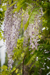 Close up of blooming wisteria flowers in spring