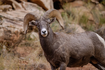 Big Horn Ram in Capitol Gorge, Capitol Reef National Park
