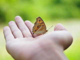 Beautiful butterfly on hand with blurred background in natural color tones. It is called Peacock Pansy and has a scientific name: Junonia almana with orange wings and polka dots.