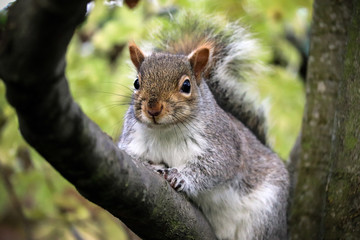 Grey UK Squirrel