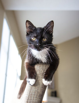 Black and white tuxedo kitten looking straight on, cute white paws and whiskers
