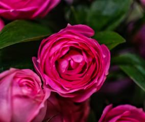 flower, pink, nature, garden, plant, blossom, red, rose, flowers, spring, bloom, macro, petal, green, flora, beautiful, beauty, floral, summer, purple, leaves, color, leaf, white, violet