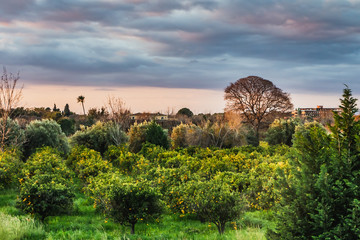An orange garden on the background of sky at sunrise in Italy