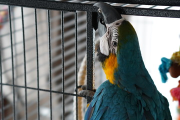 Acrylic Prints Parrot Arra Ara Papegaai Toys Blue Ron