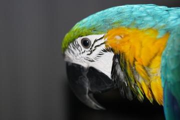 Door stickers Parrot Papegaai ara