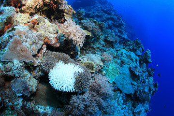 Wall Mural - Bleached coral underwater in the Great Barrier Reef