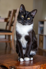 Black tuxedo cat, sitting on a stool, looking straight on, cute white belly, paws and whiskers