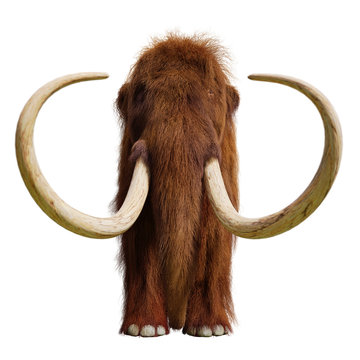 woolly mammoth, extinct prehistoric elephant species isolated on white background, front view