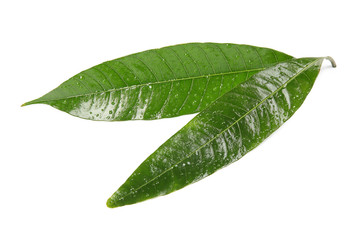 Green mango leaves with water drops on white background