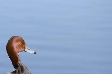 Readhead - Duck