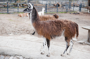Lamas live in their aviary in an outdoor zoo
