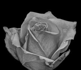 Monochrome fine art still life black and white floral macro portrait of a single isolated rose blossom, black background,detailed texture,vintage painting style