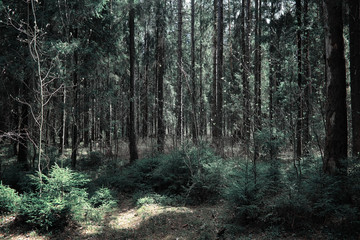 Pine forest. Depths of a forest. Journey through forest paths. Trees without foliage in early spring. Trekking through the reserve.