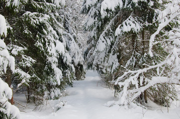 Beautiful winter firs forest