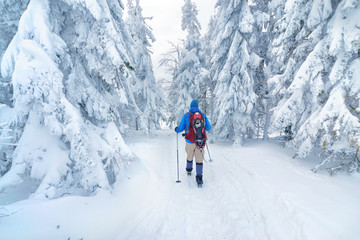 Tourist going into the winter forest. Poland