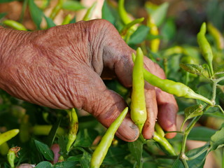 Old grungy hard-working farmer's hand picking fresh green chili, a beautiful outcome from his hard work