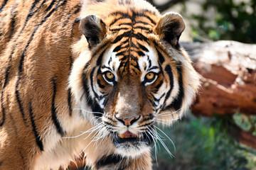 Intense Bengal Tiger Stare (panthera tigris tigris)