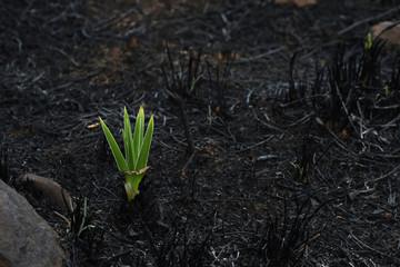 Emerging Star Lily Plant (hypoxis rigidula) In Burnt Field
