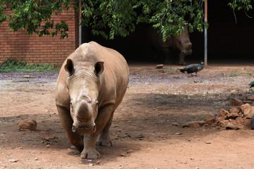 Endangered White Rhino Pair (ceratotherium simum) In Captivity